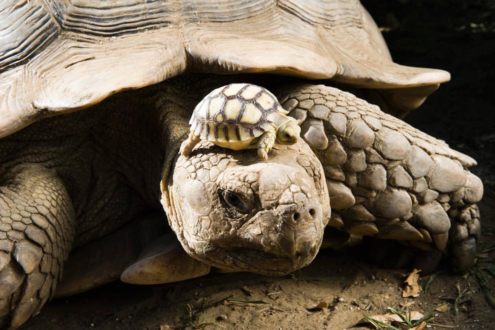 أروع الصور الطبيعية لسلحفاة دفع أفريقية وهى تحمل أحد أولادها على رأسها ليتلقى أشعة الشمس