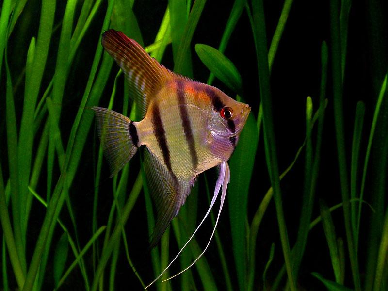 صور أسماك الزينة 2014 , معلومات عن أنواع اسماك الزينة 2014 , خلفيات اسماك زينة جميلة 2014