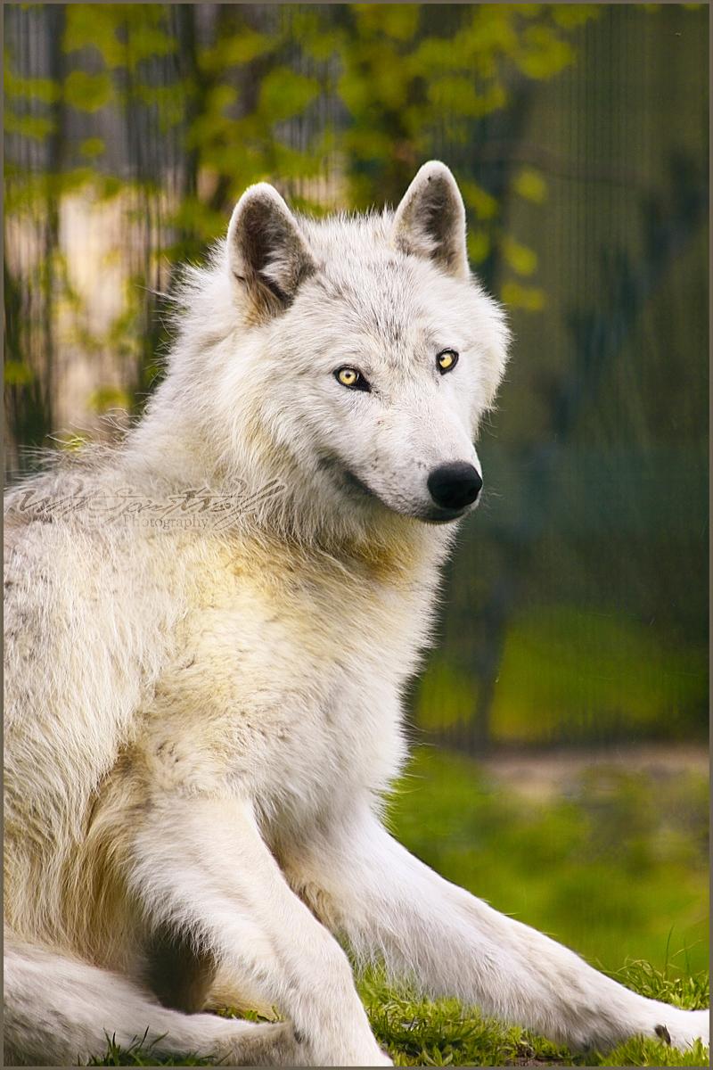 صور ذئب ابيض , خلفيات الذئب الابيض و الاحمر , Wolf