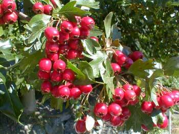 فوائد شجر الزعرور , مستحلب شجر الزعرور , معلومات كاملة عن نبات الزعرور