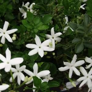 ��� ���� �������� , ������� �� ��� �������� Jasmine flowers