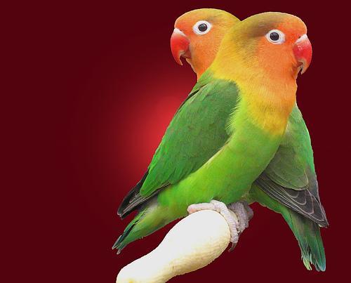 صور طيور الحب الغراميه قبلات العصافير Love birds