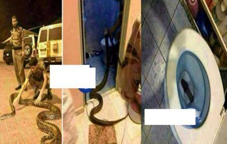 صورثعبان ضخم يخرج من مرحاض منزل في المدينة المنورة يثير الذعر