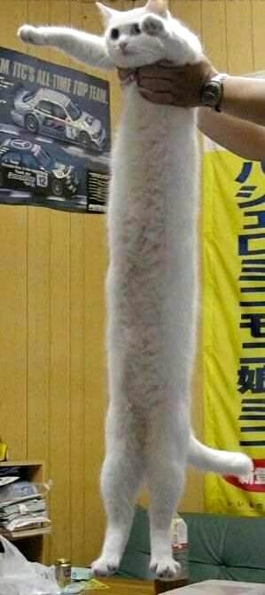 صور أطول قطة بالعالم