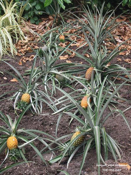 صور اناناس, خلفيات فاكهة اناناس, صور جميلة الاناناس