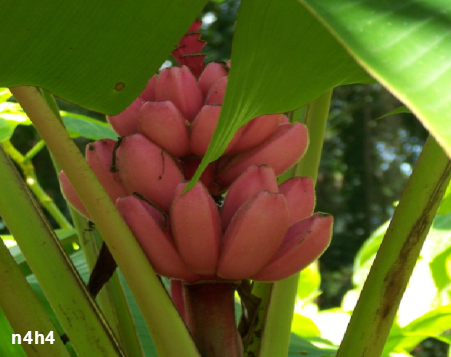 ����� ������, ������� �� ����� ������, Banana red