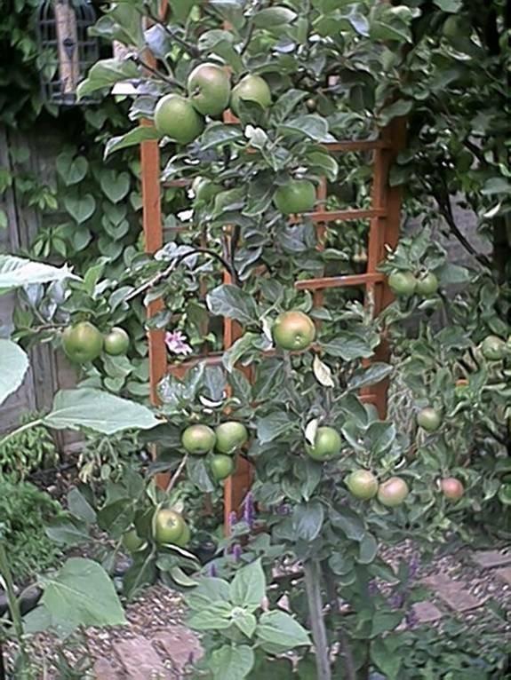 صور شجرة التفاح, معلومات عن شجرة التفاح, صور زهور التفاح