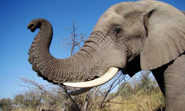 صور فيل, معلومات عن الفيله, صور حيوان الفيل, حقائق عن الفيله