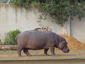 صور فرس النهر, معلومات عن فرس النهر, Hippopotamuses