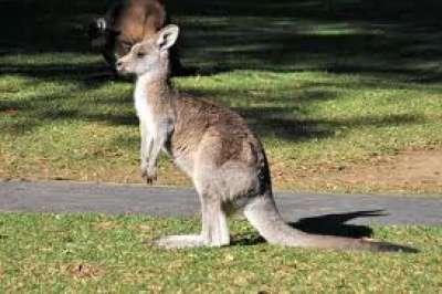 ������, ������� �� ������, ��� ������ ���������, Kangaroo