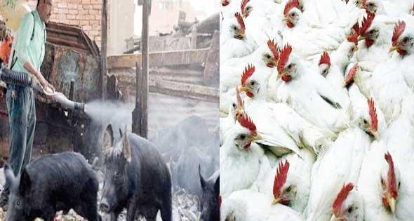ملف كامل عن إنفلونزا الخنازير 2014 , طرق الحماية من Swine Flu 2014