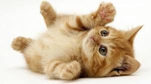 صور قطط جميلة , انواع القطط القط الروسى , القط الرومى او الريفى