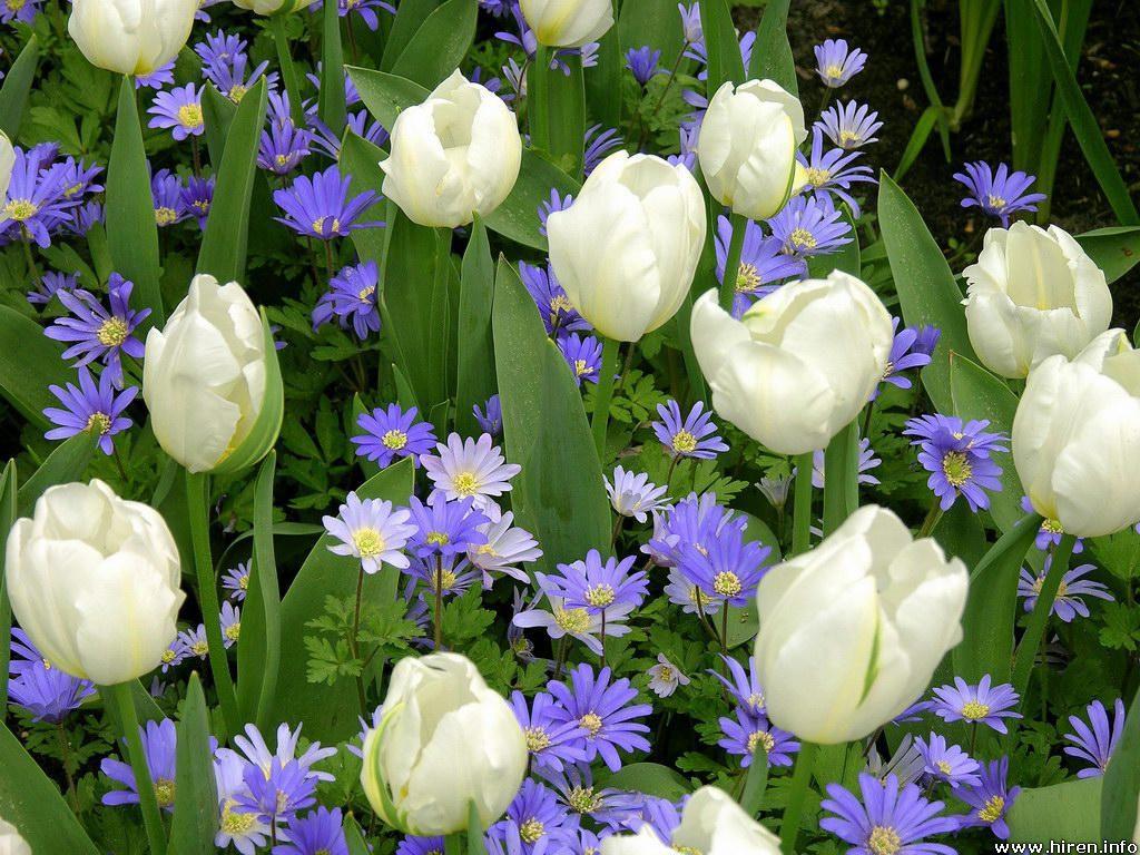 زهرة التوليب , معلومات عن زهرة التوليب , صور زهرة التوليب , اجمل صور لزهور التوليب
