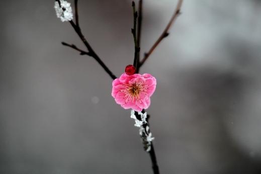 صور ورود طبيعية تغطيها الثلوج , صور ورود طبيعية 2014 , خلفيات ورود طبيعية 2014
