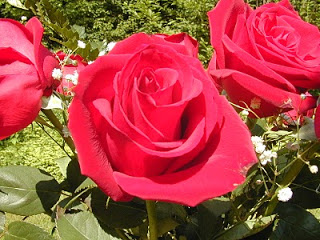 صور زهرة الورده , معلومات عن زهرة الورده ,Rose Flower
