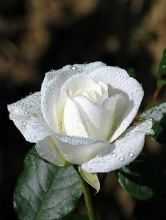��� ���� ������ , ������� �� ���� ������ ,Rose Flower
