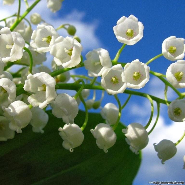 صور زهرة زنبق الوادي , معلومات عن زنبق الوادي ,lilac of the vally