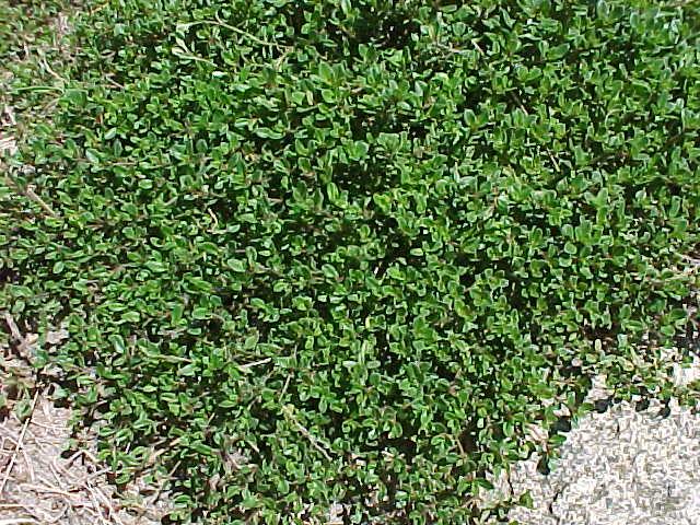 نبات الزعتر , Thyme ,صور نبات زعتر اليابس , صور زعتر الاخضر