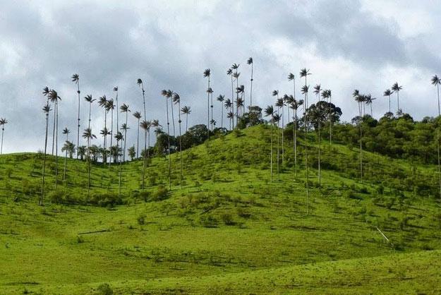 صور اطول نخل في عالم , في وادي كوكورا في كولومبيا يوجد نخيل يصل من طوله الكبير الي الغيوم