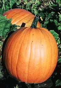 ��������� � ����� ������� ������ , ������� � ����� � ����� � ��� � ������ � ������ Pumpkin
