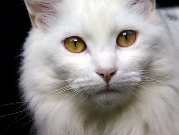 حلم رؤيا القطط او القطة في المنام , تفسير حلم رؤيا القطط للنابلسي