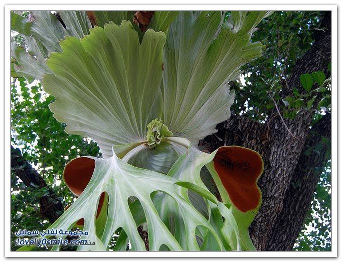 نبات قرن الغزال , معلومات عن نبات قرن الغزال Platycerium bifurcatum