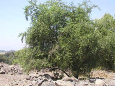 شجر السدر , معلومات عن شجرة السدر Ziziphus
