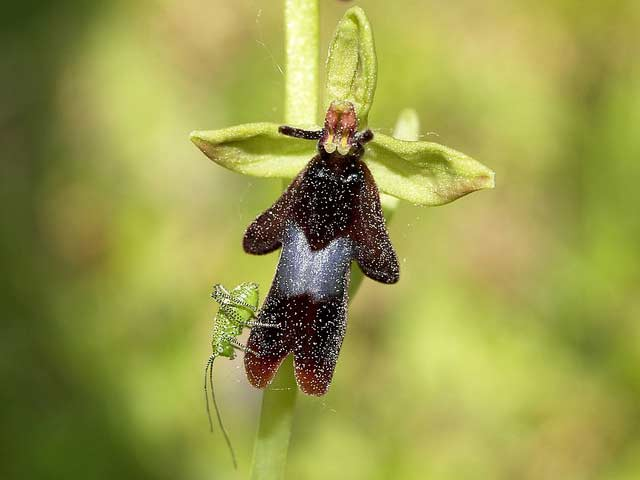 زهرة أوركيد الذبابة , معلومات عن زهرة أوركيد الذبابة Fly Orchid