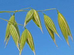 نبات الشوفان , معلومات عن نبات الشوفان , صور نبات الشوفان