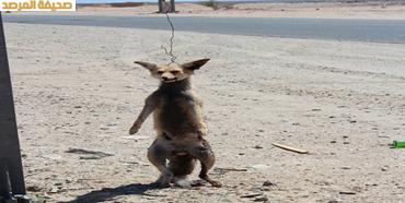 صور سعودية تشنق ثعلبا بسلك على طريق تربة