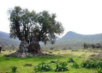الإعجاز العلمي في شجرة الزيتون , شجرة الزيتون شجرة مباركة أقسم الله تبارك وتعالى بها