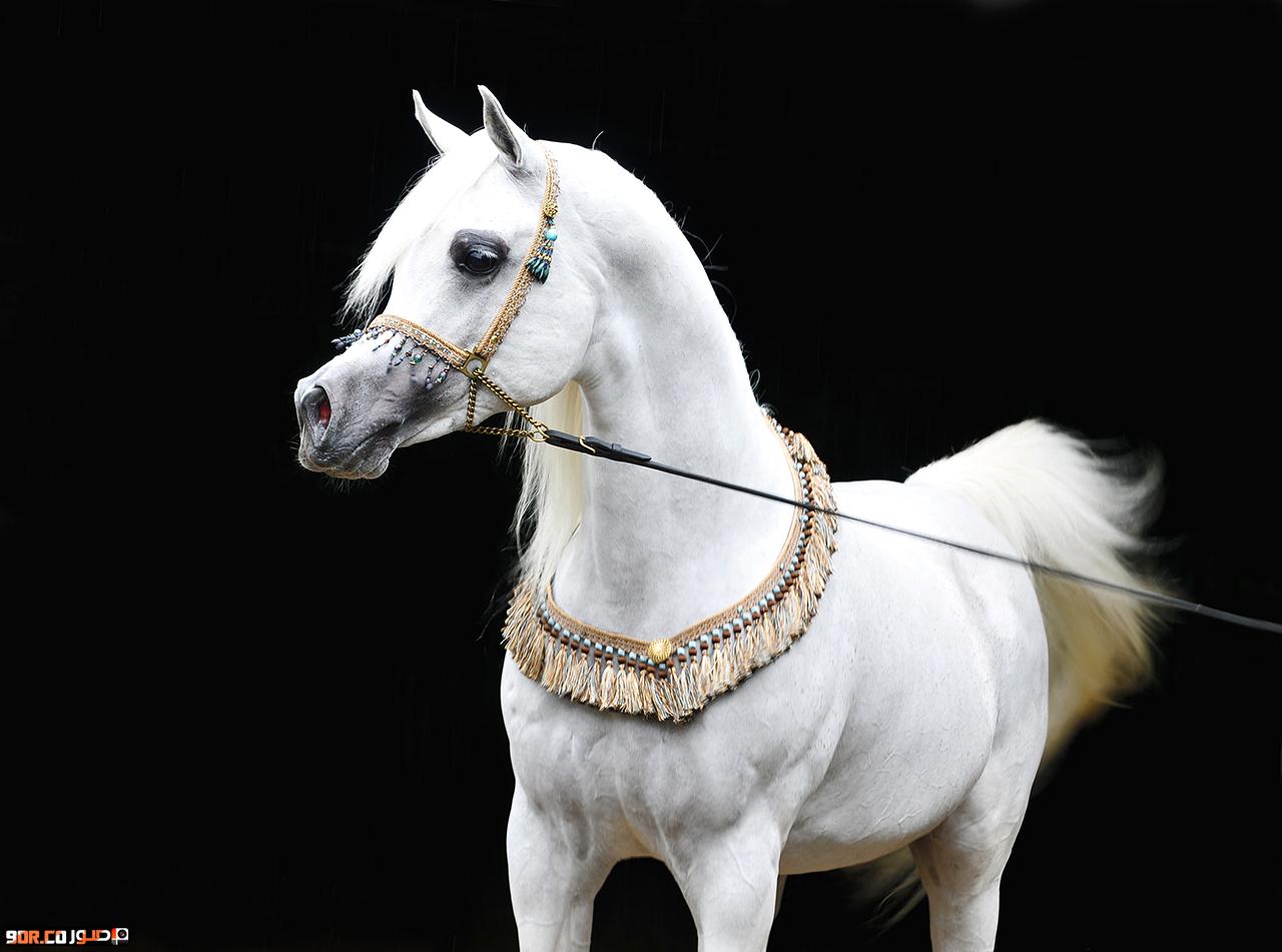 صور خيول عربية اصيلة , صور خيول جميلة , صور خيول جديدة 2015