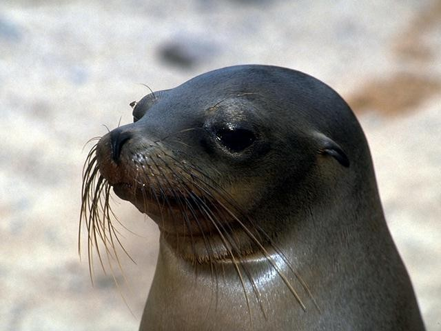 بحث عن كلب البحر , معلومات عن كلب البحر