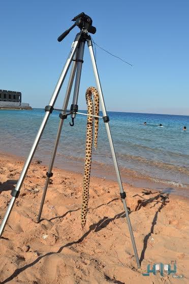 صور اصطياد ثعبان البحر بشاطئ أم عنم في حقل