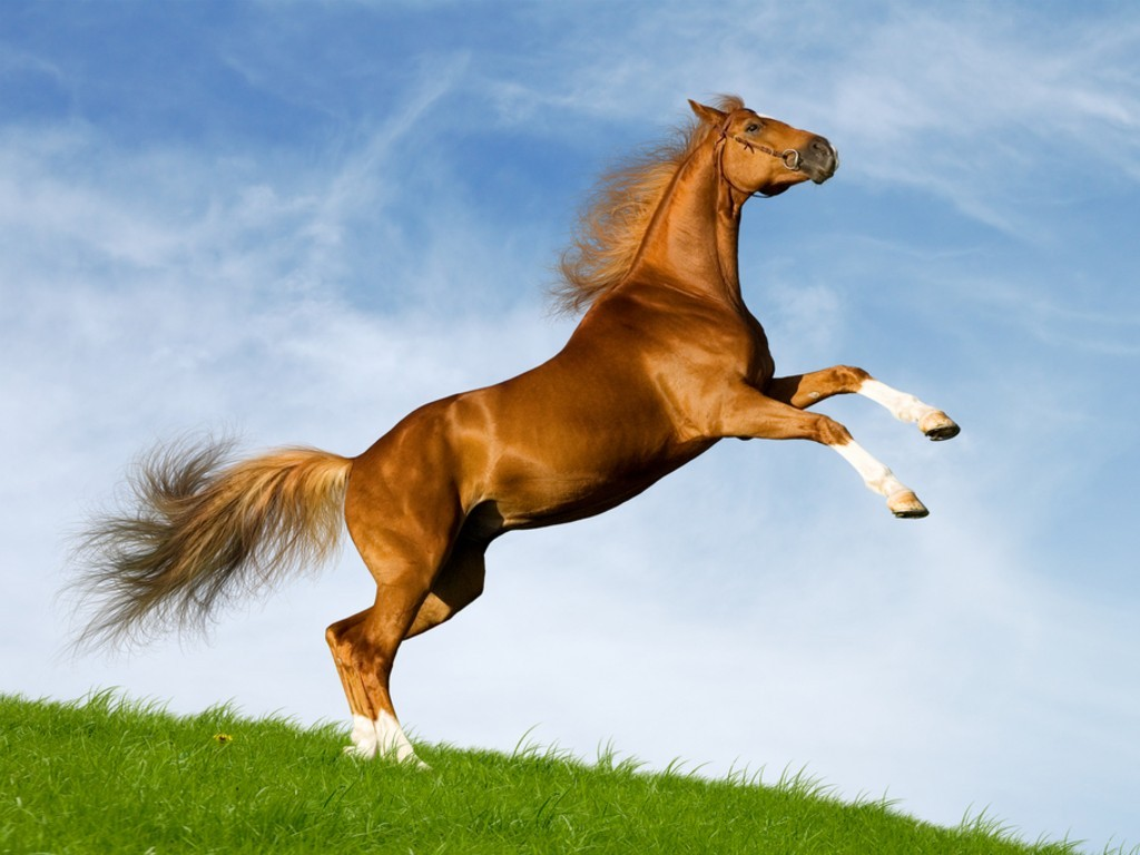 صورخلفيات حصان عربي اصيل , خلفيات خيول 2018