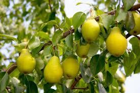 ������� �� ������� �� ������ pears ��������