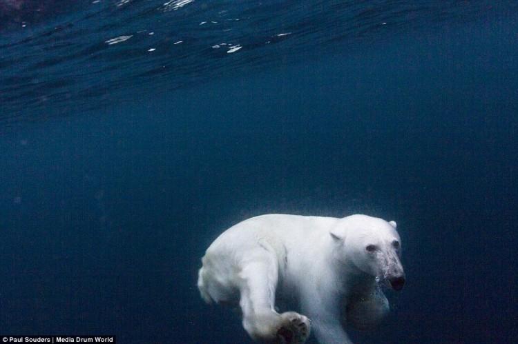 صور قريبة للغاية للدب القطبي في بيئته الطبيعيّة