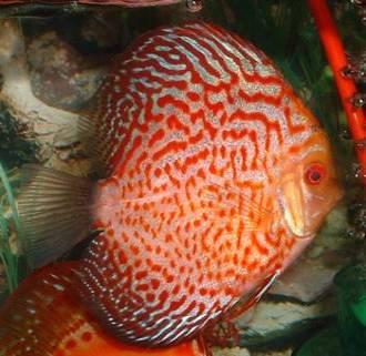 معلومات عن سمكة دسكاس discus fish