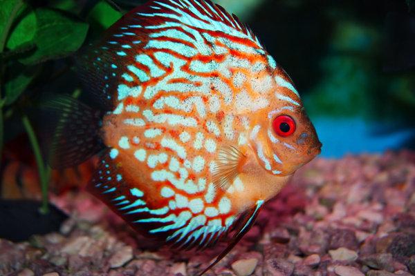 ������� �� ���� ����� discus fish