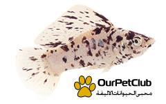 معلومات عن انواع اسماك مولي Molly fish