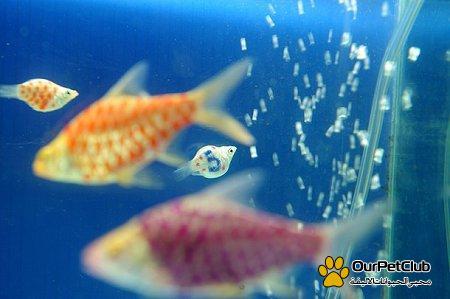 ������� �� ����� ����� ���� Molly fish