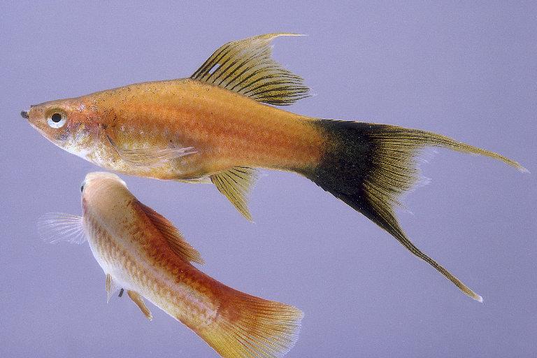 ������� �� ����� ��������� Swordtail Fish