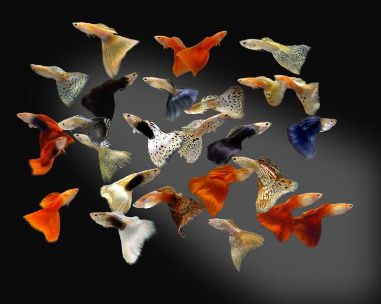 معلومات عن سمك جوبي Guppy fish