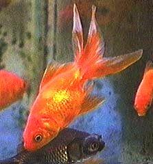 ��� ����� ������ ������ - FanTail Goldfish