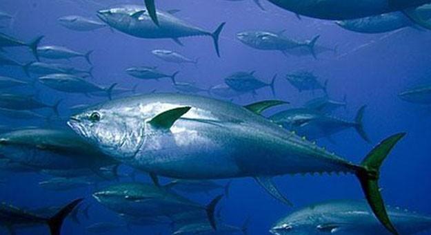 فوائد وأضرار تناول التونة فى شم النسيم
