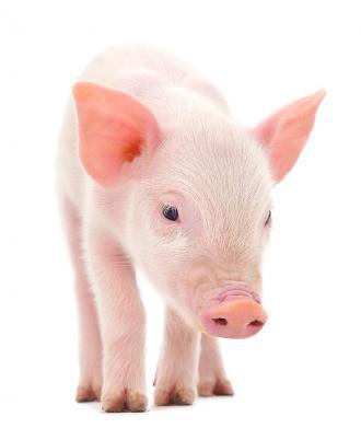 الأمراض البكتيرية التي يسببها لحم الخنزير