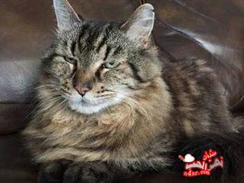 معلومات عن القط كوردوي عميد القطط في العالم