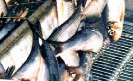 سمك التونا قد يشكل خطرا على الأطفال