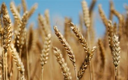 الأردن يشتري 100 ألف طن من القمح