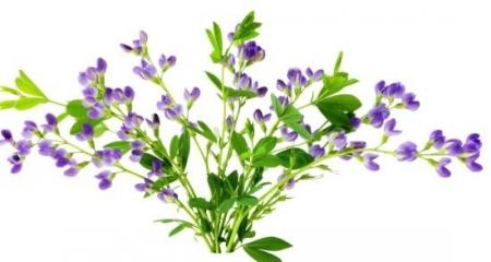 هذه النبتة خير من الف دواء تعرفوا عليها